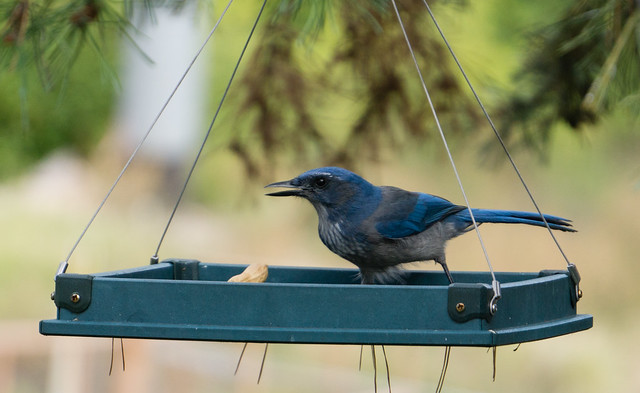 Scrub Jay in Feeder
