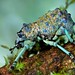 Broad-nosed weevil (Holonychus saxosus) by pbertner