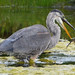 Great Blue Heron has lunch by ctberney
