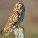 Short-eared Owl , Scottish East Coast.. by EPJ's