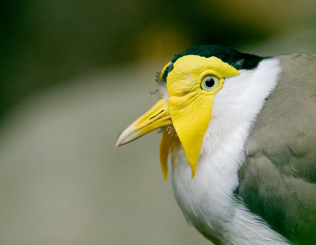 Masked Lapwing (Vanellus miles)_3