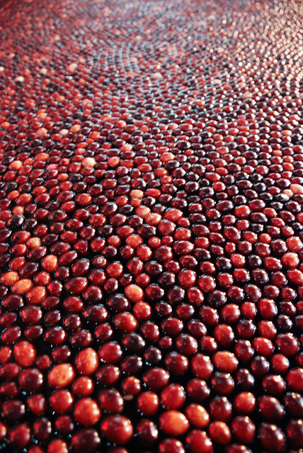 Fields and fields of cranberries