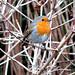 Winter Robin at Dixter