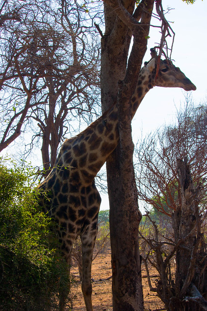 Giraffe in a tree
