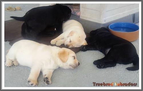 labrador-retriever-puppies-sleeping