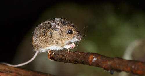 Wet Wood Mouse Balancing on Edge of Twig