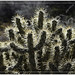 Cholla Cactus by Runemaker