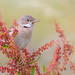 whitethroat in red by Jaco-Costerus