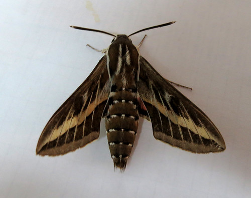 Striped Hawk-moth Hyles livornica Loureiro, Algarve August 2015