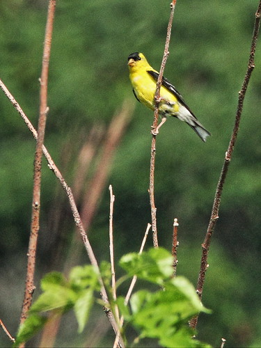 American Goldfinch 20150902