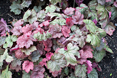 coral bells foliage