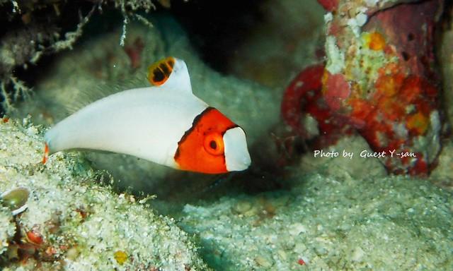 イロブダイ幼魚。動きがとってもかわいい