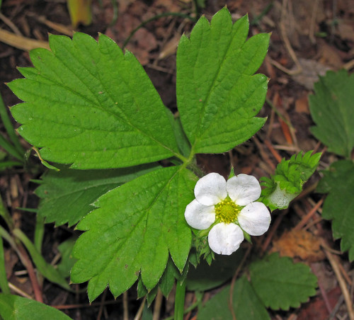 Fragaria vesca (woodland strawberry) (Gooseberry Falls State Park, Minnesota, USA) | by James St. John