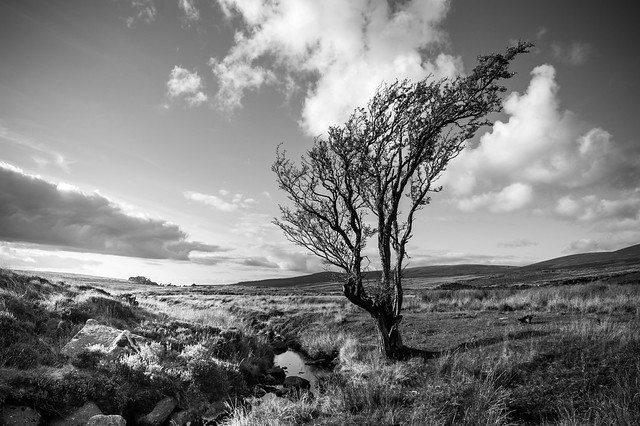 Lone Tree - Sally Gap