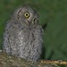Mocho-pequeno-d'orelhas, Eurasian scops owl (Otus scops) - em Liberdade [WildLife] by xanirish