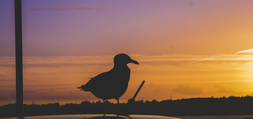 sunset england sky bird animal silhouette docks britain outdoor dusk seagull great hampshire southampton