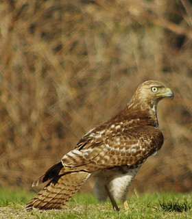 Red-tailed Hawk on ground - Lowell MA, Machine Shop Site