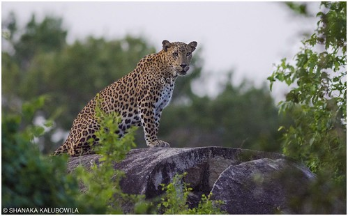 Leopard on famous leopard rock at dusk