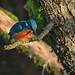 Small photo of Lagan Kingfisher