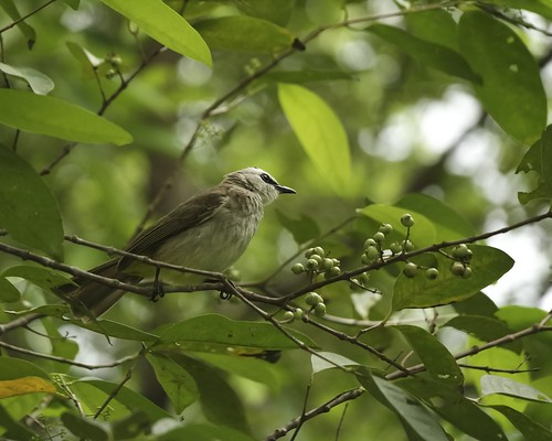 Yellow-vented bulbul in tree