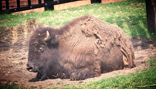 It Was a Bit Warm for A Bison!