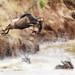 Wildebeest jump by Photobirder