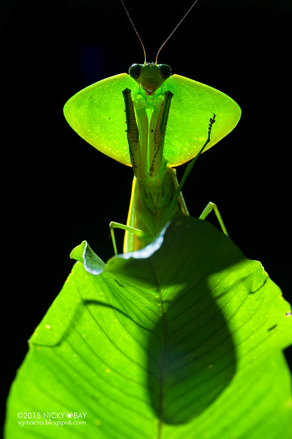 Hood mantis (Choeradodis strumaria) - DSC_8297