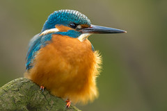 IJsvogel / Kingfisher / Martin-Pêcheur