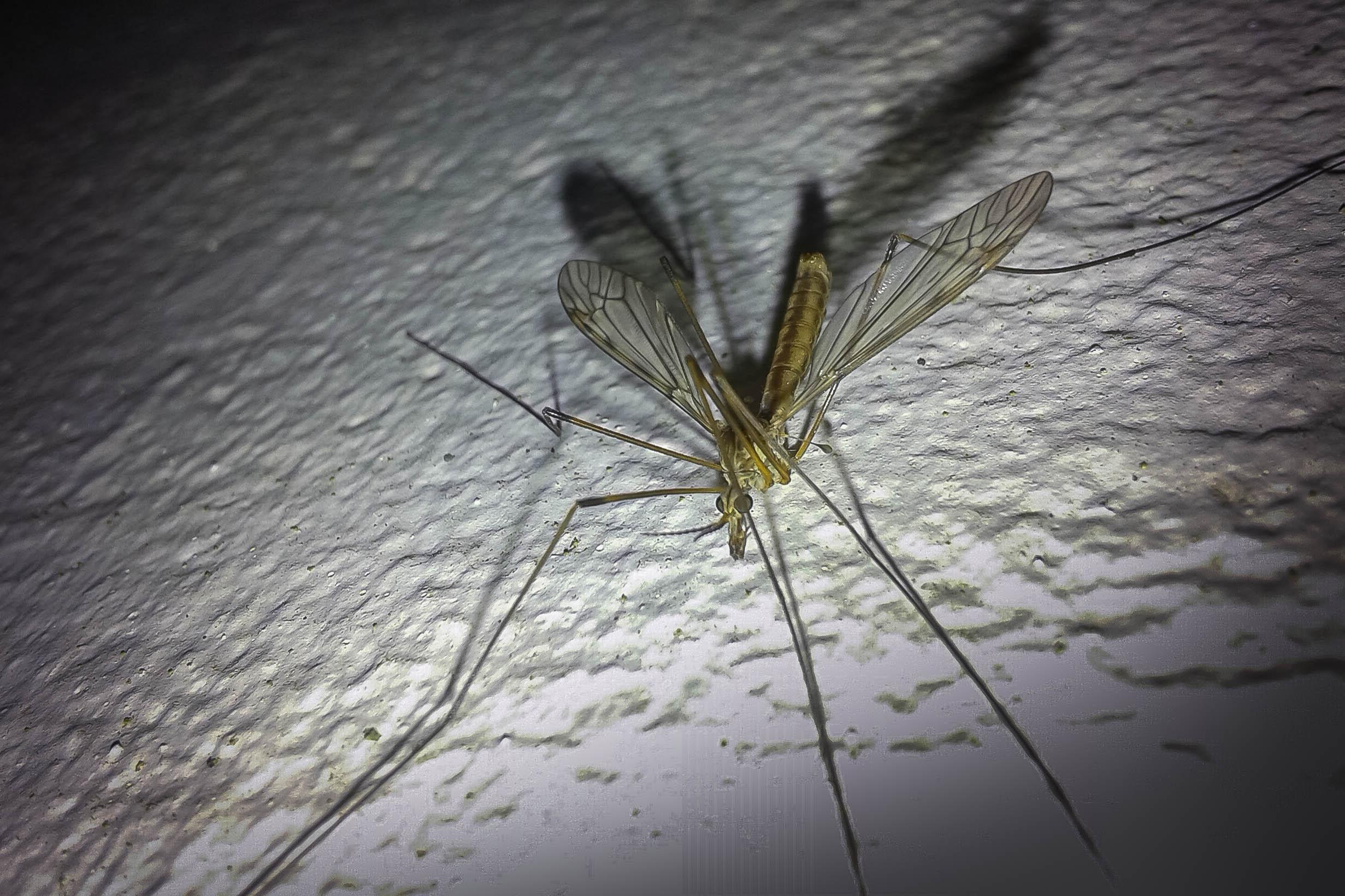 Mosquito gigante 21119270743_274bb4a211_o