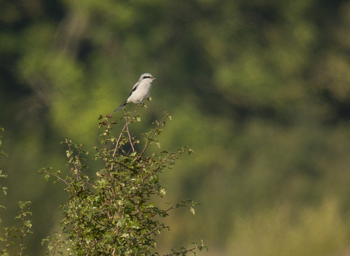 Great Grey Shrike, Sandy Smith NR, 4th Oct 2015