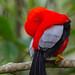 Andean Cock-of-the-Rock - Mindo, Ecuador by Vivek Khanzodé (www.birdpixel.com)