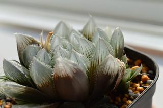 DSC_0690 交配種 Haworthia venusta x Haworthia obtusa(大窓)