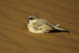 Desert Sparrow - Merzouga - Morocco_07_7156
