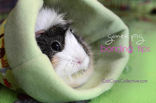 7 Guinea pig bonding tips