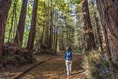 _WCB4794 Nisene Marks S.P Redwood stump redwoods