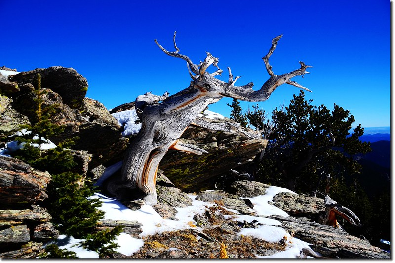 Bristlecone pine on the East face of Chief Mountain