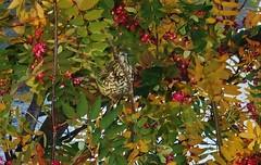 Mistle thrush in rowan tree