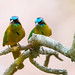 A couple of blue-crowned Momot by Thelma Gatuzzo