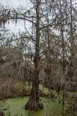 Cypress Tree With Spanish Moss