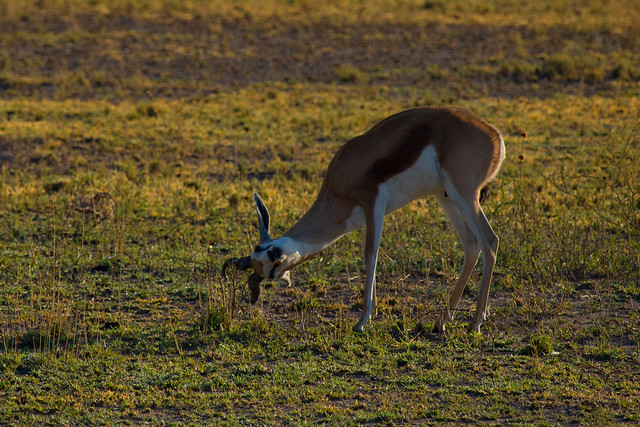 Head-rubbing springbok