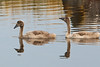 _MGL7660 Knopsvane-unger - Mute Swan young ones - Cygnus olor by Thanks for visit Soes' photo from the lovely natur