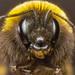 Bumblebee face by scyrene