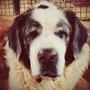 Skipper, our ol' boy is getting all the care, love and special attention he needs at #petstepin.He is such a darling ❤ #dogs  #pets #olddogs #PetStepin #SaintBernard