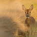 Roe Deer doe by Wouter's Wildlife Photography