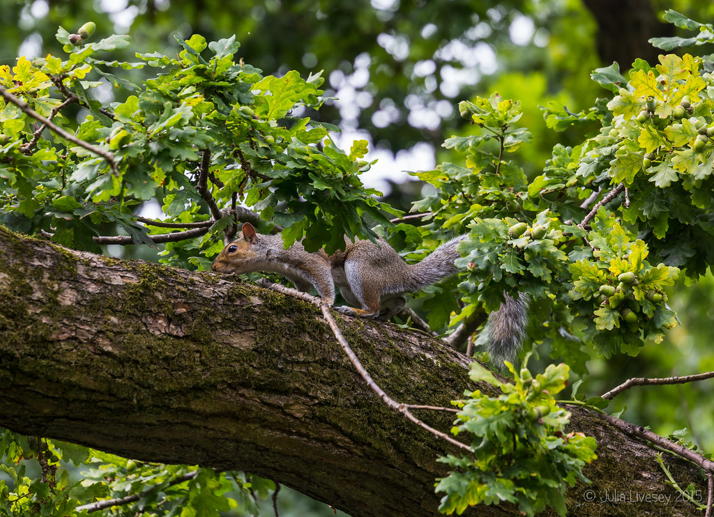 Squirrel in the oak tree