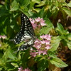 Asian Swallowtail 2