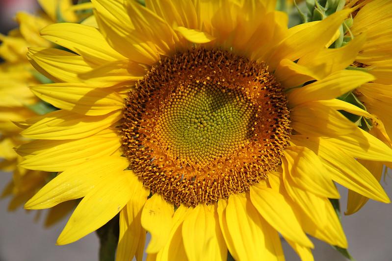 FM sunflower