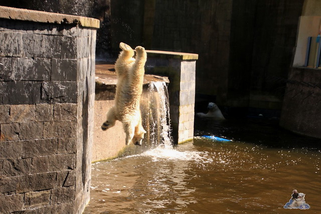 Eisbär Fiete im Zoo Rostock 05.09.2015  0192