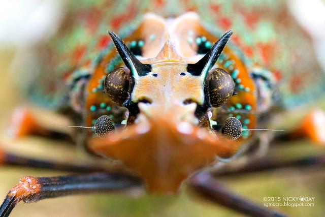 Dragon-head lantern bug (Phrictus quinqueparitus) - DSC_9572b