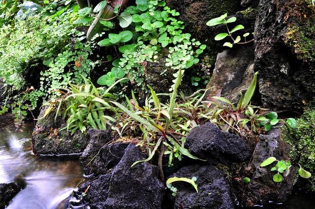 Drosera adelae, Sakuya Konohana Kan